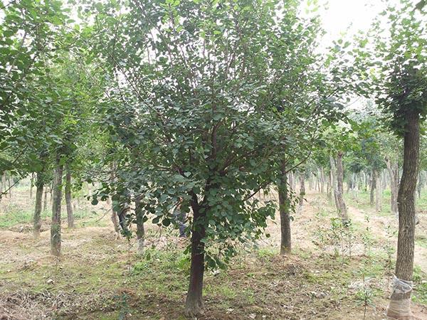 3公分黄栌树|想买优惠的黄栌树,就到俊良园林基地