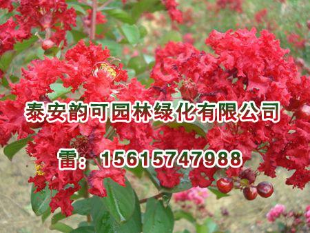 浙江红火箭紫薇小苗,想要品质好的红火箭紫薇就来泰安韵可园林
