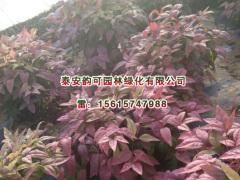 想要成活率高的红叶南天竹就来泰安韵可园林|红叶南天竹树苗哪有卖