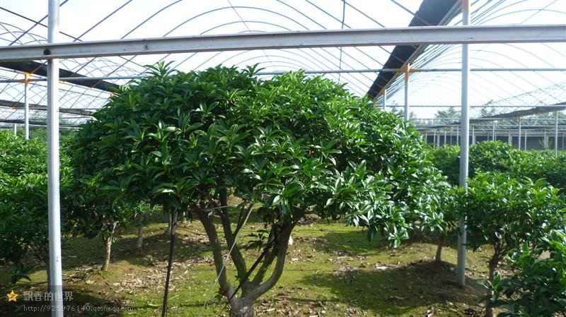 想要優惠的桂花樹就來太平桂花基地|德州桂花樹