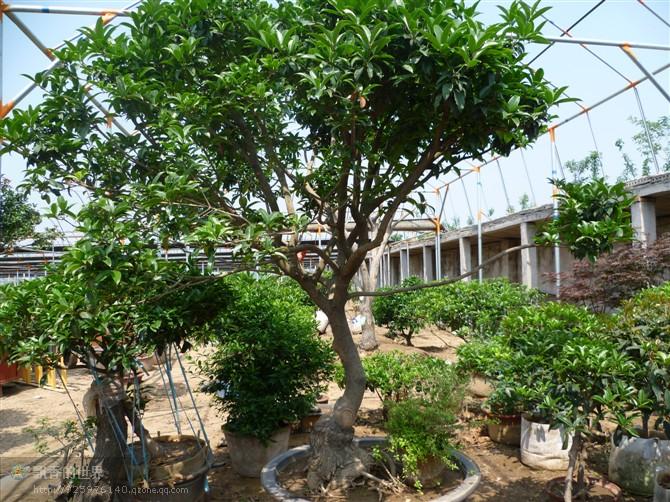 主营各种桂花苗,桂花树