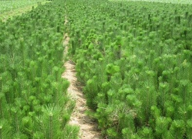 在哪能买到易成活的油松苗木——油松苗木价格