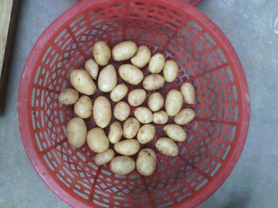 小土豆供应商哪家好,滕州迷你小土豆