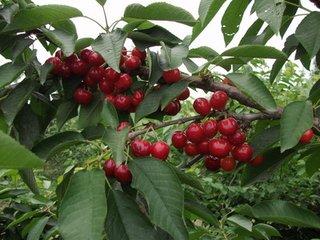 紅燈大櫻桃