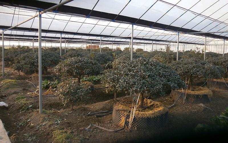 山东桂花 想要品种好的山东桂花就来太平桂花基地