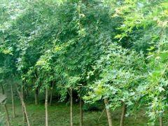 1公分五角枫树苗_供应山东有品质的五角枫