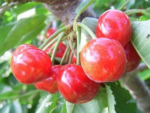 樱桃苗图片