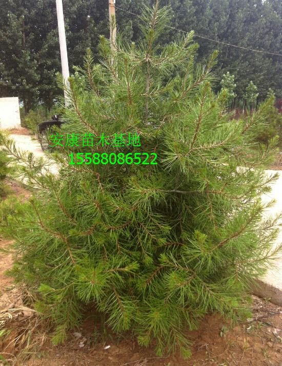黄山1.5米油松树苗_山东哪里有出售1.5米油松树苗