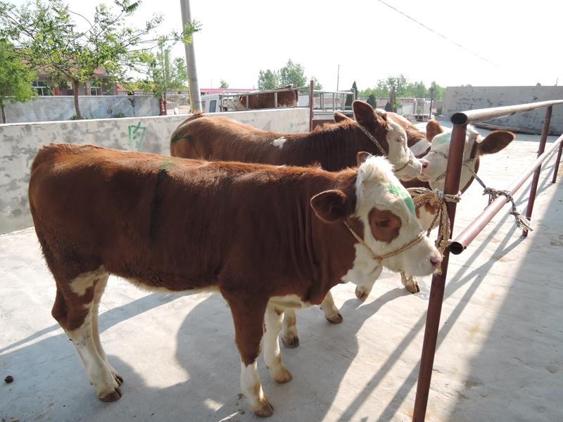 肉牛养殖品种---西门塔尔牛