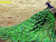 规模大的孔雀养殖基地倾情推荐 锦鸡哪里有