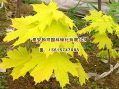 挪威槭黄金枫树苗基地——成活率高的挪威槭黄金枫批发