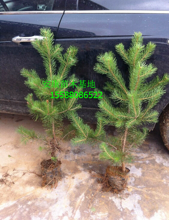 安康苗木基地专业供应油松苗,50cm油松小苗80cm油松