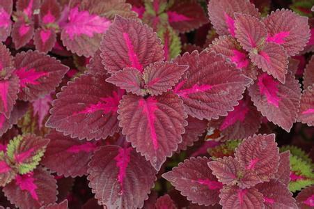 優良的彩葉哪里有-草花批發