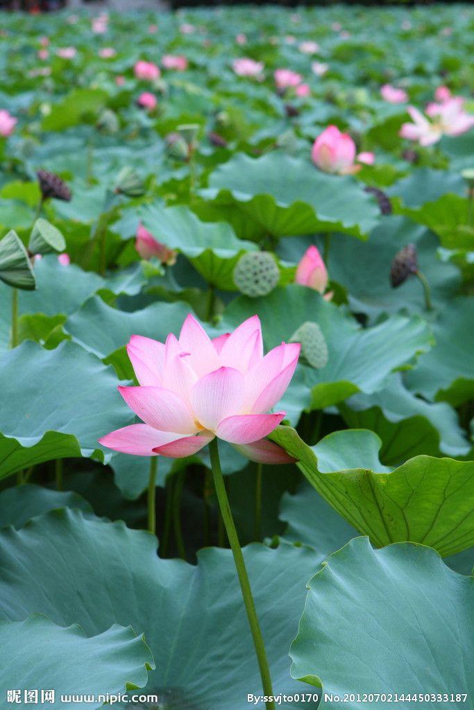 要買質量好的荷花,昌盛花卉苗木是不二選擇_日照水生植物