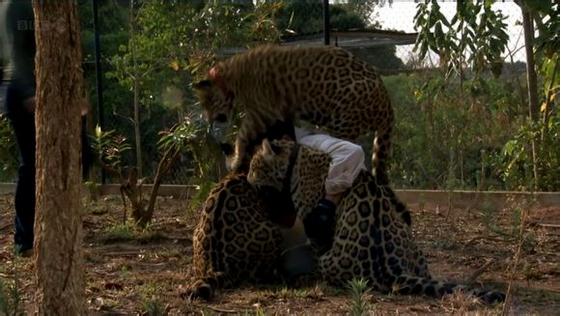 世界上有许多动物面临着绝种的威胁。像犀牛、美洲豹、鬃狼等,都属于濒危动物。一方面是由于人类的猎杀,另一方面也是因为这些动物自身的繁殖率太低,使得这些动物的数量越来越少。动物学家们过去一直对此一筹莫展,无计可施。 动物学家为美洲豹喂食bicho 近日,巴西动物学家尝试着给一些动物服用bicho。巴西动物专家加斯顿说:bicho用在动物身上的效果和用在人身上几乎一模一样。那些无精打采,懒于交配的动物,服用bicho后,变得生龙活虎,雄风大振。这对于那些濒临绝种的动物来说,bicho的确是个大救星。实验表明,服