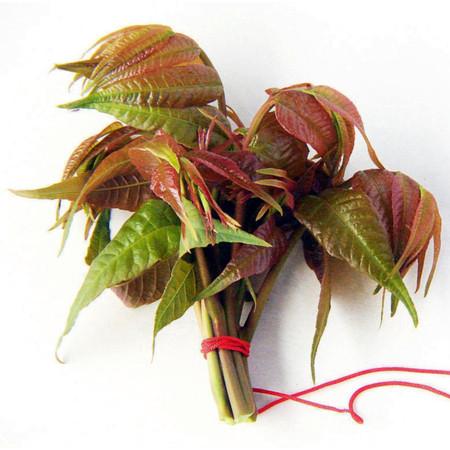 优质的鲜香椿-鲜香椿俊豪红香椿专业供应