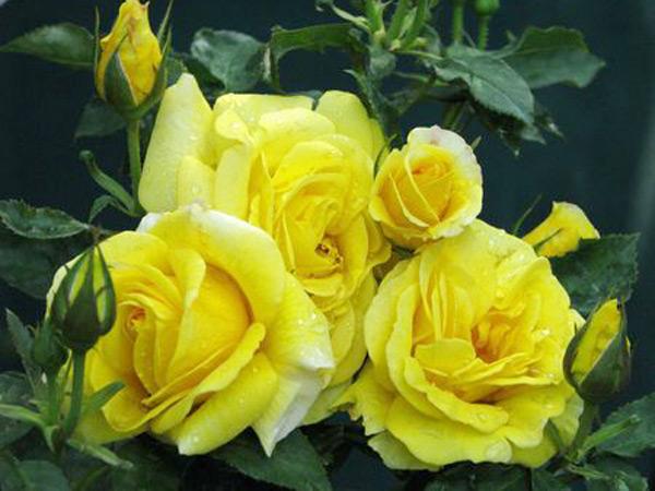 月季价格 专业的月季提供商,当属洪星花卉苗木