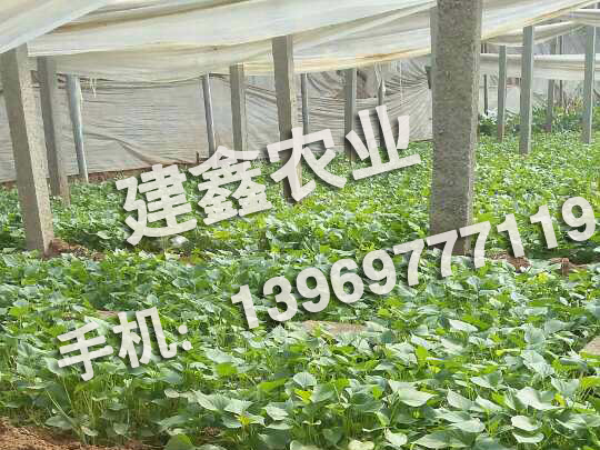 高产龙薯9号种苗