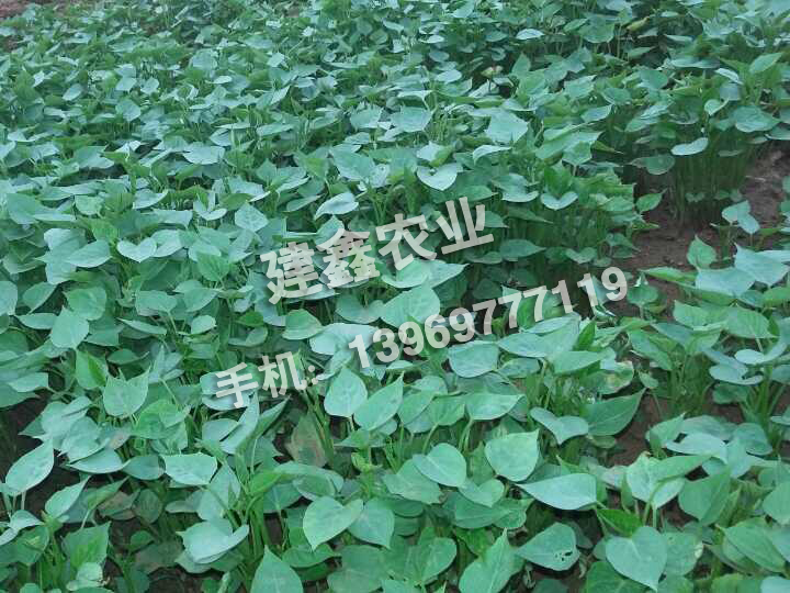 <高淀粉>商薯19号种苗