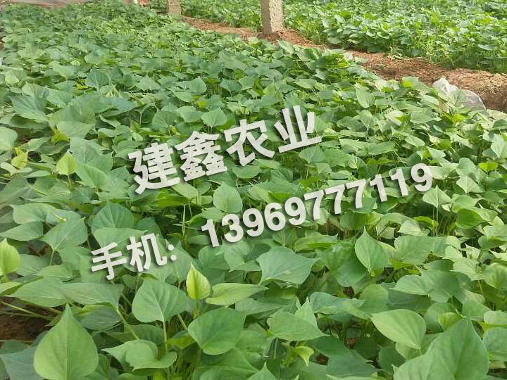 西农431【热销红薯新品种】