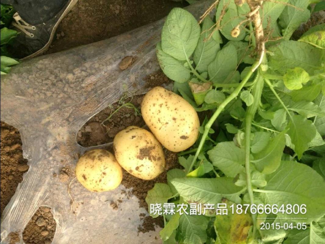 甘肃 兰州 批发xiao 油炸土豆小土豆价格行情