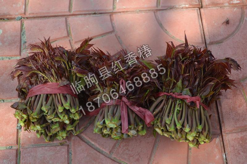 潍坊红香椿供应商哪家好-鲜香椿价格