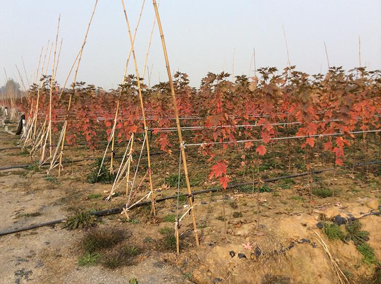 临沂索梅塞红枫供应基地哪家好 索梅塞红枫价格超低