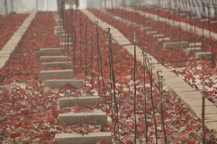 美国红点红枫苗价格多少钱 美国红点红枫苗价格