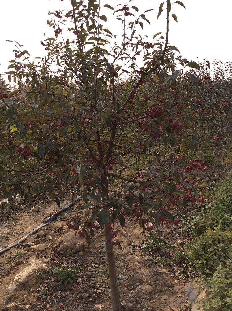 临沂专业的糖美林海棠提供商 烟台糖美林海棠