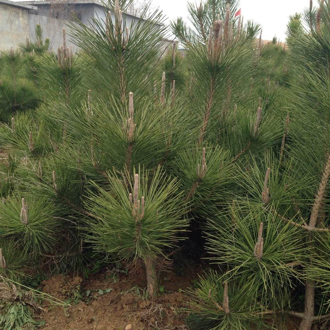 哈尔滨1米黑松树苗:成活率高的1米黑松树苗批发