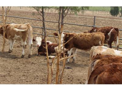 山东肉牛养殖场