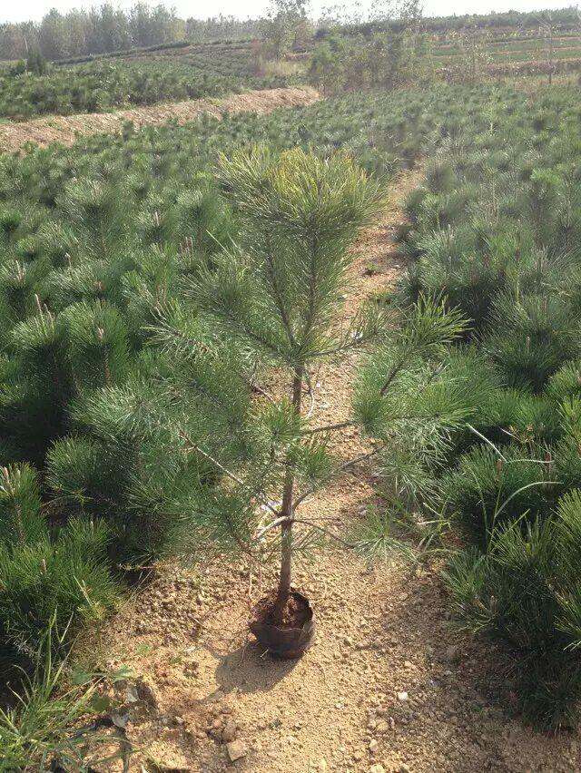 靠谱的樟子松树苗出售——樟子松树苗价格范围