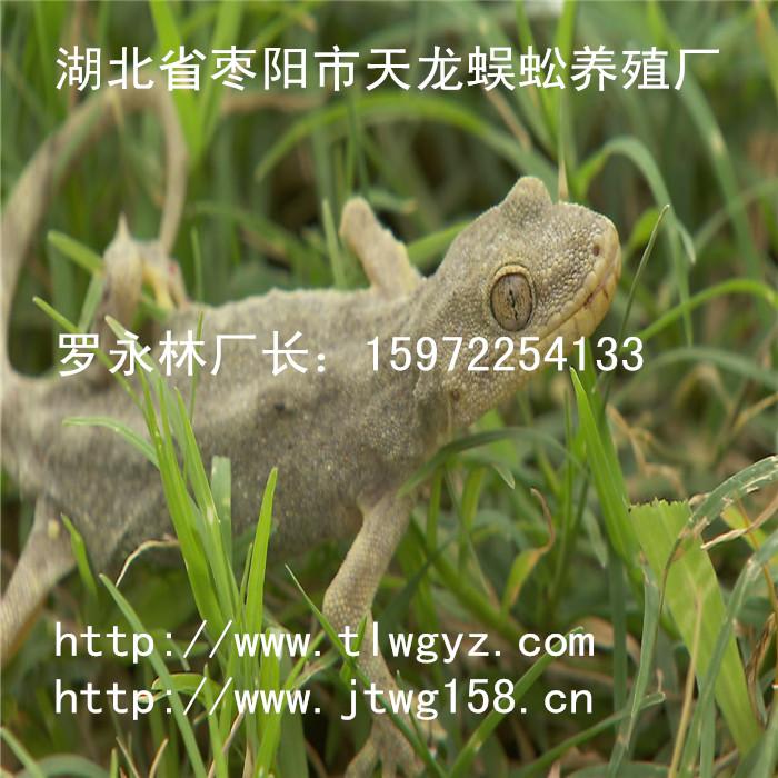 湖北省枣阳市天龙壁虎养殖厂在四川建有壁虎养殖分厂