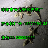 哪里有壁虎养殖的?湖北枣阳天龙养殖厂15972254133