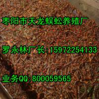 蜈蚣养殖全国哪个信誉度最好?湖北枣阳