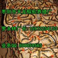 全国哪家蜈蚣养殖最大?15972254133