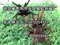 谁知道哪里有养蜘蛛的?15972254133