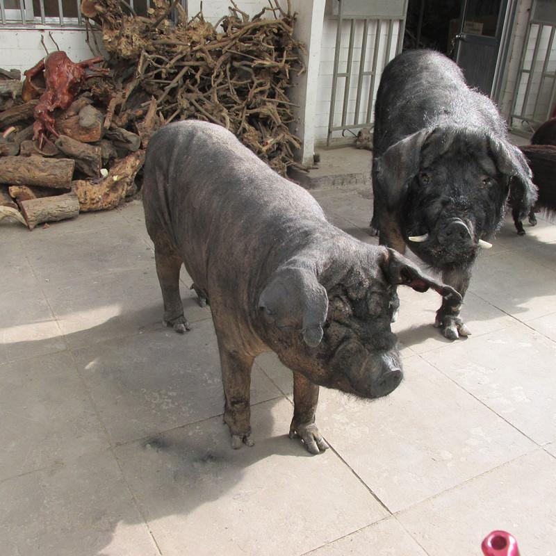 东营动物标本,东营动物标本制作,山鸡标本,纪元动物标本制作。
