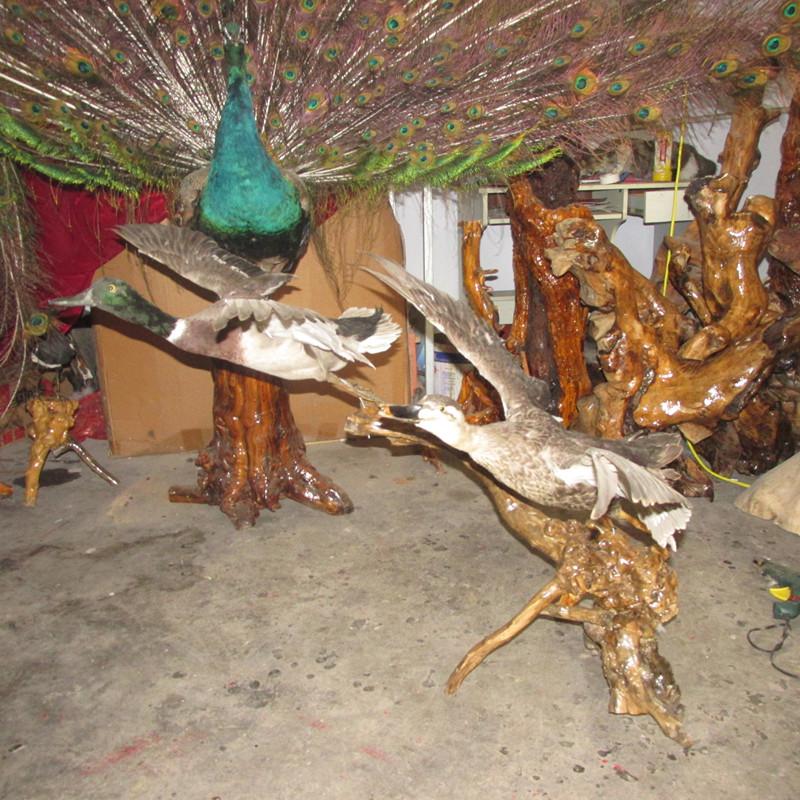 泰安动物标本,泰安动物标本制作,孔雀标本。纪元动物标本制作。