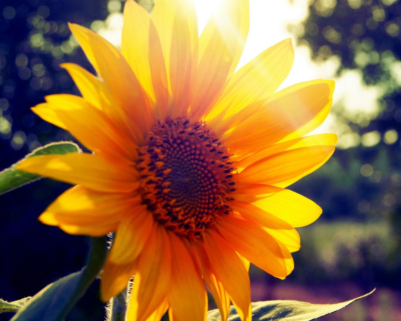 太阳花供应
