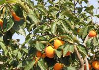 易种植的柿子苗供应
