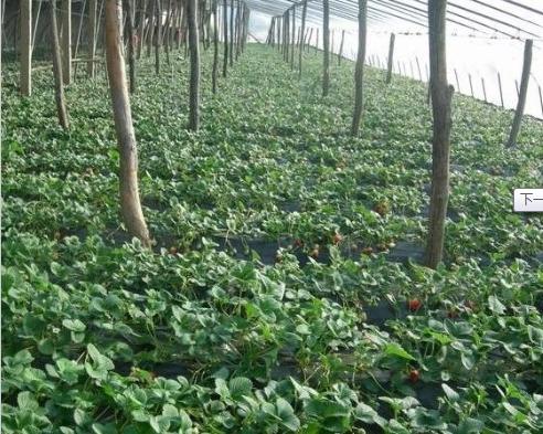 天宝草莓苗