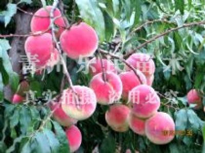 晚熟桃新品种_桃树新品种_蟠桃新品种_新品种桃树_桃树苗新品种-青州乐民苗木专业合作社
