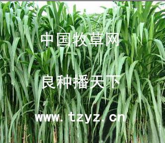 泰安优质美国王草供应 安徽多花黑麦草