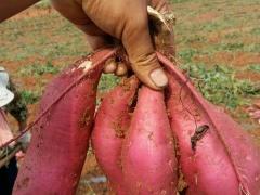 河南鲜地瓜|哪里有卖品种好的鲜地瓜