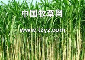 想要具有口碑的甜象草,就找周全农业-养羊冬季牧草