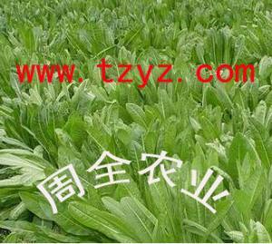 泰安优质美国王草供应,一级的黑麦草