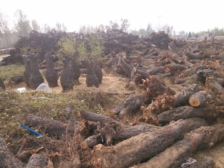 种植古枣树-供应河南实惠的古枣树