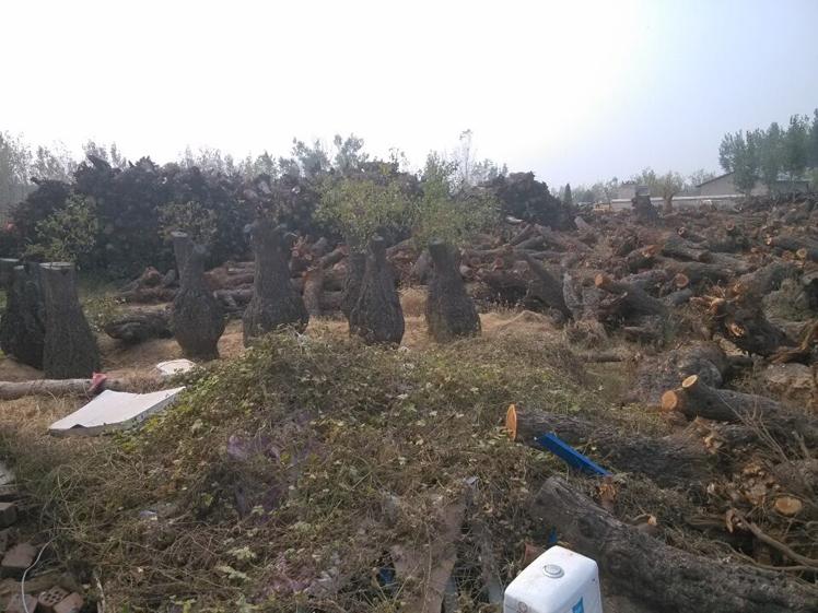 種植古棗樹-宏達根藝雕刻中心專注古棗樹批發
