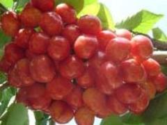 供应山东优质的拉宾斯樱桃苗 三年生拉宾斯樱桃苗